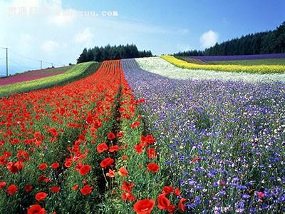 日本旅游攻略:夏天去北海道簇拥花海,冬天去雪野里打