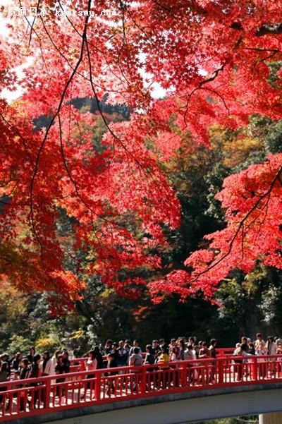 日本箱根大涌谷迎来红叶最佳观赏期(图片来源:朝日新闻网站)